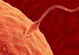 оплодотворение , оплодотворение яйцеклетки, процесс оплодотворения