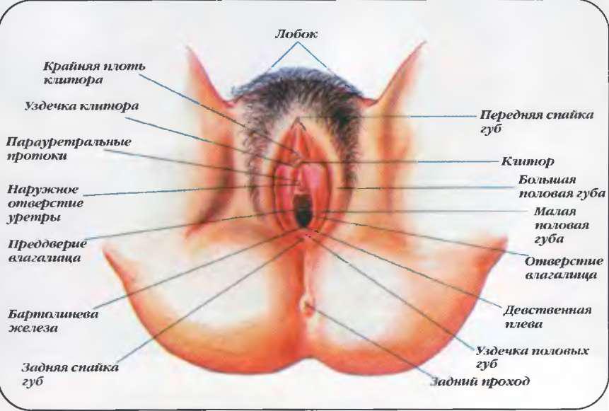 жиночый половый орган