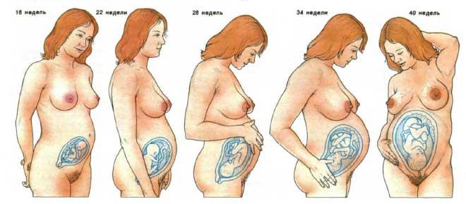 внутриутробное развитие, развитие плода, внутриутробный рост