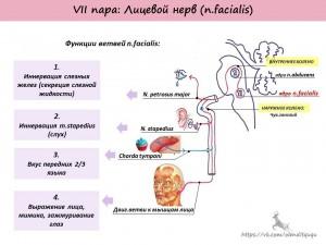 Лицевой нерв. Анатомия. Симптомы поражения лицевого нерва. Центральный и периферический парез лицевого нерва. Синдром Мийара-Гублера. Синдром Фовелля.