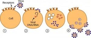 вирус,вирус 2017, вирус что это, как выглядит вирус, жизненный цикл вируса, вирусная инфекция