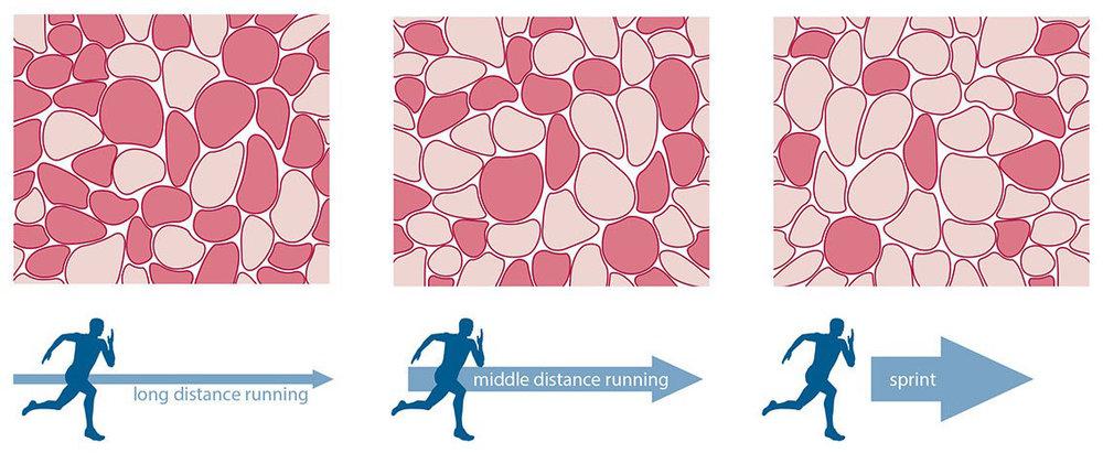 мышечные волокна 1 типа, типы мышечных волокон, типы скелетных мышечных волокон, типы мышечных волокон +их отличия,