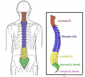 какое строение позвоночника, особенности строения отделов позвоночника, позвоночник отделы строение, позвоночник строение анатомия, строение позвоночника