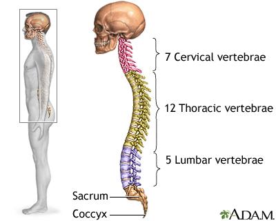 позвоночник строение анатомия, особенности строения отделов позвоночника, строение позвоночника, какое строение позвоночника, позвоночник отделы строение