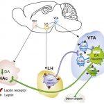 Лептин тормозит процесс приема пищи с помощью новой нейроцепи