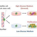Низкий уровень глюкозы может способствовать восстановлению мышц
